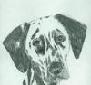 Cleopatra - Dalmatian Drawing
