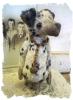 Teddy Dawg Dalmatian